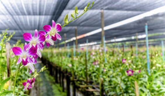 Co robić, aby było więcej kwiatów na storczyku?